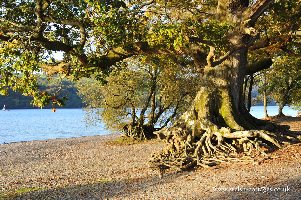 Oak Tree at Bala Lake in Gwynedd